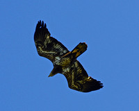 Diving young bald eagle